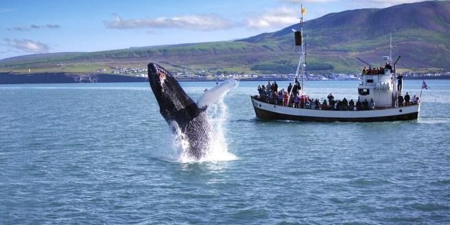 Icelandwhales