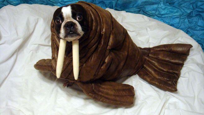 puppy walrus